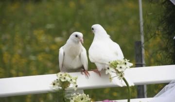 сватба гълъби