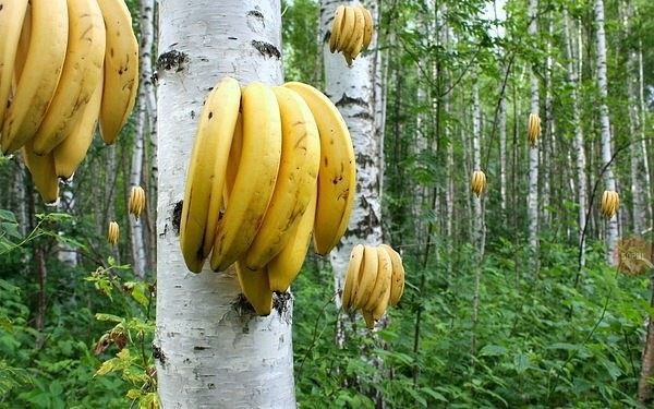 шега с банани